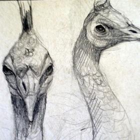 peacockheaddrawing