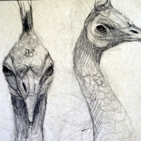peacockheaddrawing