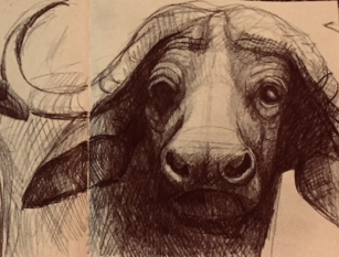waterbuffalodrawing